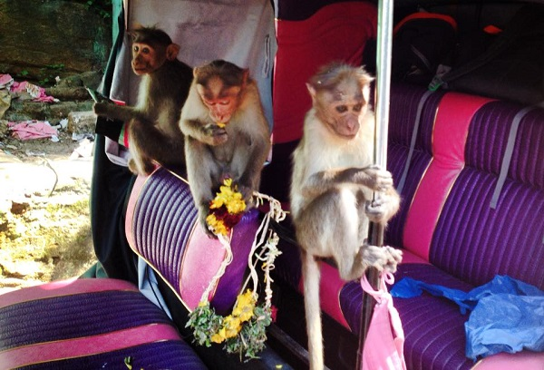 Indian monkeys drive tuk tuks
