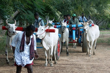 Bullathon, a holiday adventure by Travel Scientists in the real rural India. Explore Tamil Nadu on an ox cart. Holy cow!