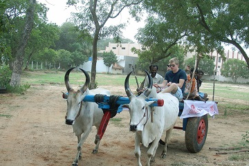 Bullathon, a holiday adventure by Travel Scientists in the real rural India. Explore Tamil Nadu on an ox cart. First you get proper training of course