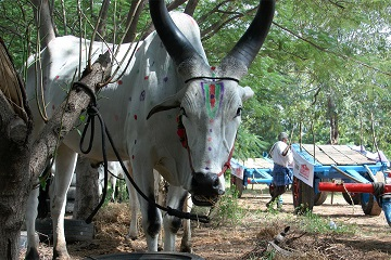 Bullathon, a holiday adventure by Travel Scientists in the real rural India. Explore Tamil Nadu on an ox cart. Sometimes we stop because the bulls have to eat. Refueling stop